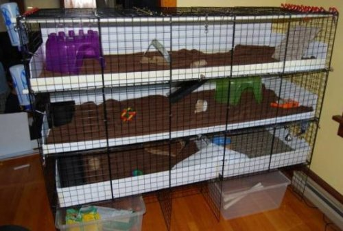 Registered Rabbit And Guinea Pig Breeder